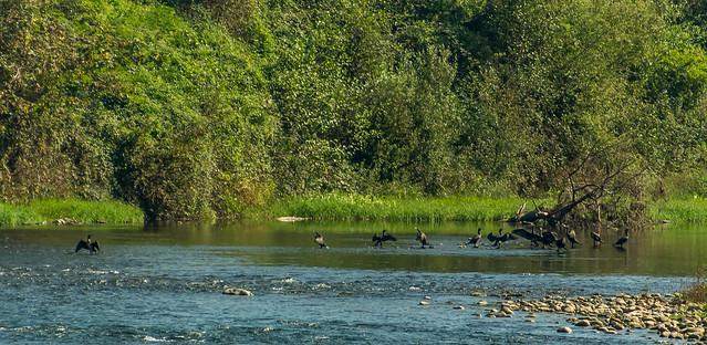 cormoranes en nalon