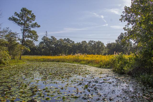 Swamp Sunflowers_28