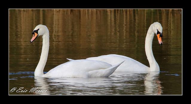 Mirror Image (Mute Swans - Cygnus olar)