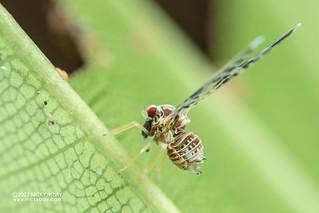 Planthopper (Derbidae) - DSC_0899