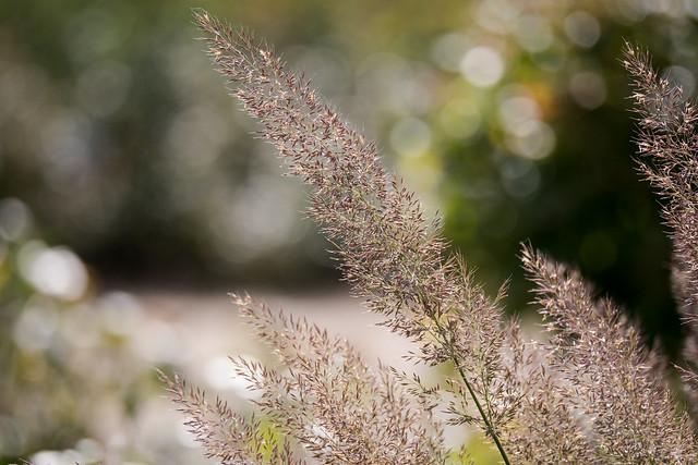 Berlin, IGA 2017: Ziergras - Ornamental grass