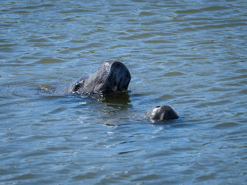 Two Manatees | by Ed Rosack