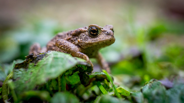Small toad posing