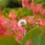 蒲公英與虎杖花(Dandelion and tiger stick flowers)。