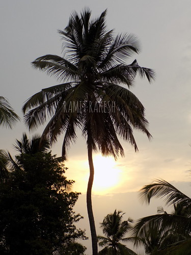 tree coconut tropical kerela india sunset sky coconuttree clouds kollengode
