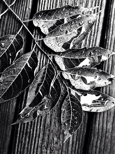 rain drops on sumac branch