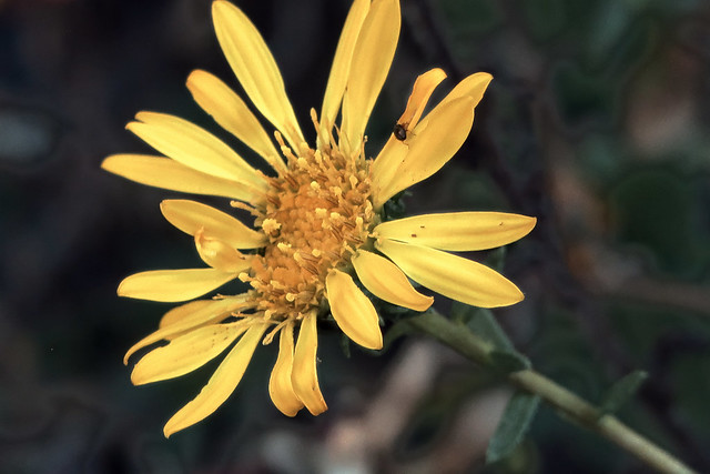 J20171026-0009—Grindelia stricta var platyphylla—RPBG—DxO
