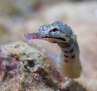 Pipefish | by Cruising, traveling & dive pics.