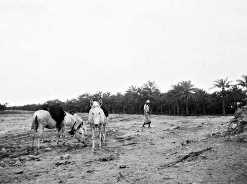 bahrain manama oldbahrain palmgroves palmtrees waterspring donkeys donkey spring cartier jacquescartier 1910s 1911 circa1911 march1911 pearltrade pearlmerchant pearlmerchants arabs arab arabmerchant arabmerchants frenchman frenchmen jeweller pearl pearls althukair adharispring البحرين المنامة الذكير pearlingindustry pearlhunting pearlfishing pearling circamarch1911 circa naturalpearls datepalmorchards retouched pearlindustry bahrainipearls pearldiving عذاري عينعذاري الغوص arabiangulf frenchjeweller caption headgear