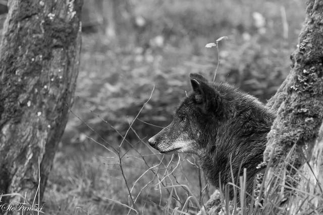 Loup2