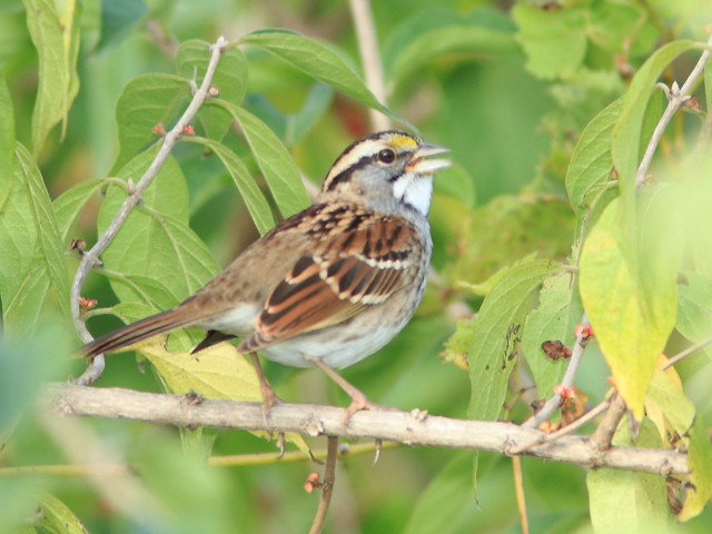 White-throated Sparrow 02-20171005