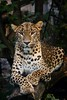 Sri Lankan leopard (Panthera pardus kotiya) by JirikD