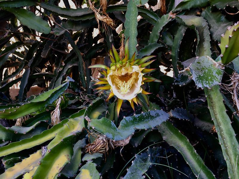 vegetal dragon