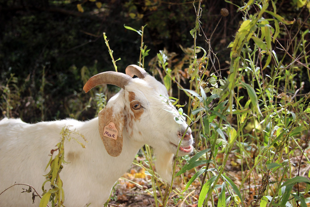 Goat Grazing | Goats are helping to remove buckthorn and oth… | Flickr
