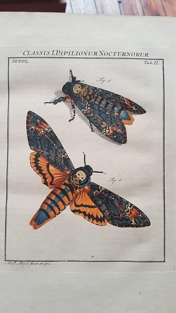 Acherontia atropos - Dead's head Hawk-moth