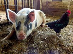 Hancock Shaker Village - round barn, pig