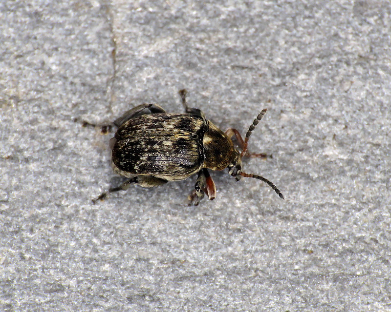 Bean Seed Beetle - Bruchus rufimanus
