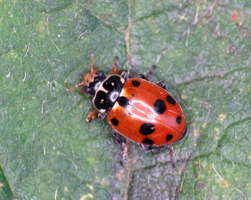 Adonis' Ladybird - Hippodamia variegata