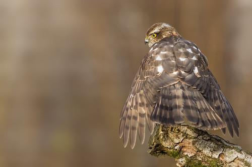 sperwer vogel bird canoneos5dmarkiii canon300mmf4lis14ex nederland netherlands nature natuur