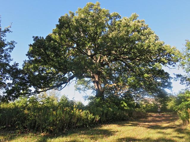Lone oak at Hawks Bluff Park 20170928