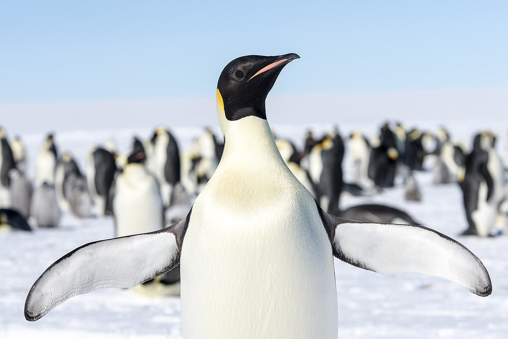 Emperor Penguin | Christopher Michel | Flickr