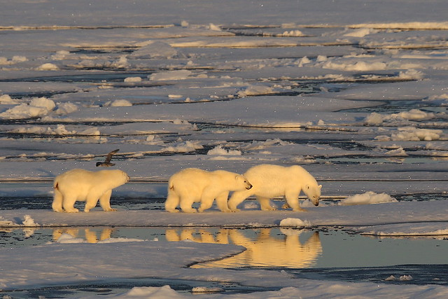 Polar Bears on Ice Floe Resolute North West Passage Canadian Arctic -EXPLORED