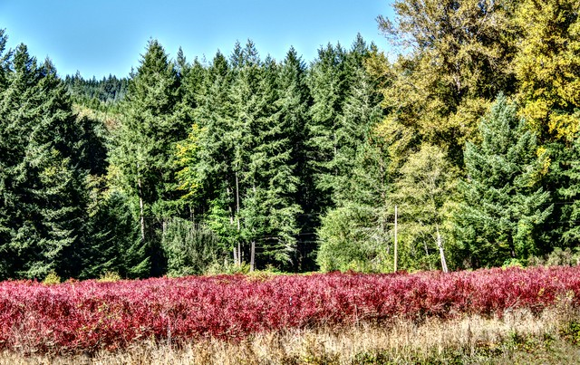 In Autumn, Blueberry Bushes Turned Red.