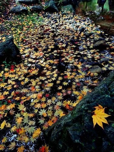 autumncolours autumn fall fallenleaves hachinohe aomori japan 落ち葉 紅葉 モミジ もみじ