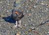 Black Oystercatcher, Juvenile (Haematopus bachmani) by Kazooze