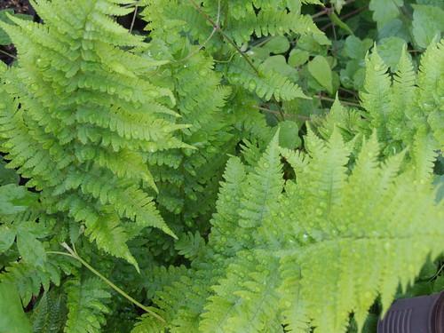 wood fern | by Impulse Traveler