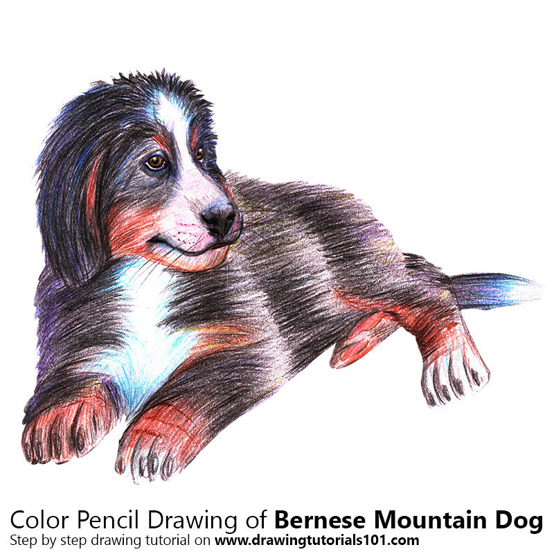 A Bernese Mountain Dog With Color Pencils Time Lapse Flickr