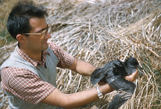 John Thompson geneticist, short tailed shearwater. Granite Island south Victoria 1960 | by Mary Gillham Archive Project