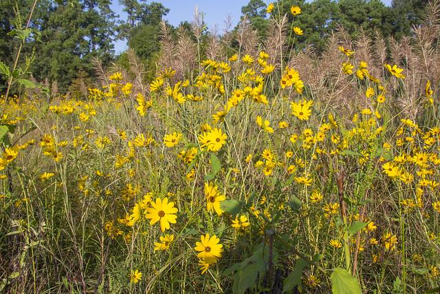 Swamp Sunflowers_4
