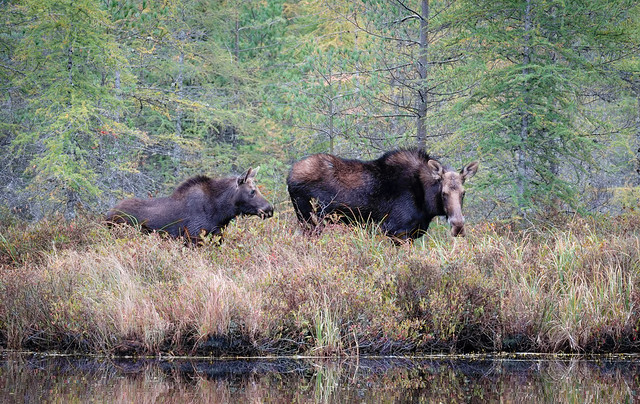 Moose Cow and Calf, Baxter State Park, Maine