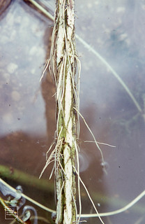 Aerenchyma from splits in stem of drowned Cirsium arvense and adventitious roots. Whitchurch canal 26.6.66