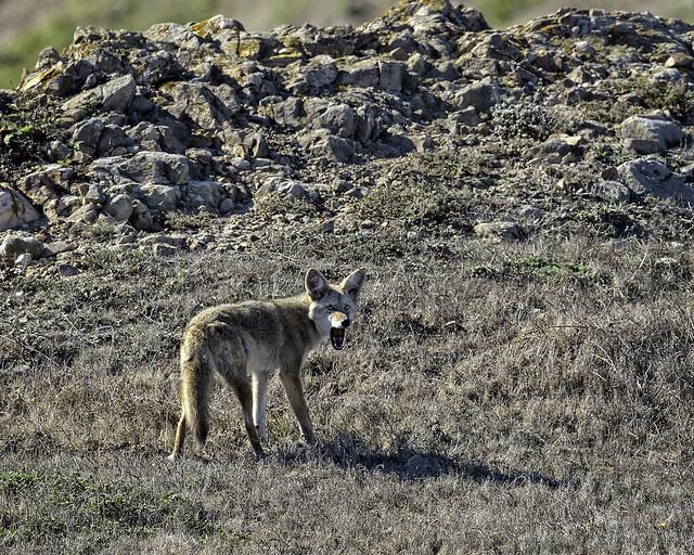 Coyote Yawn