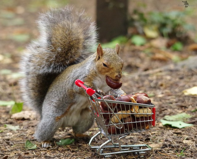 grey squirrel  with shopping trolley cart  in park autumn. (6)