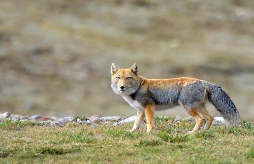Tibetan Sand Fox, Tibet 2017
