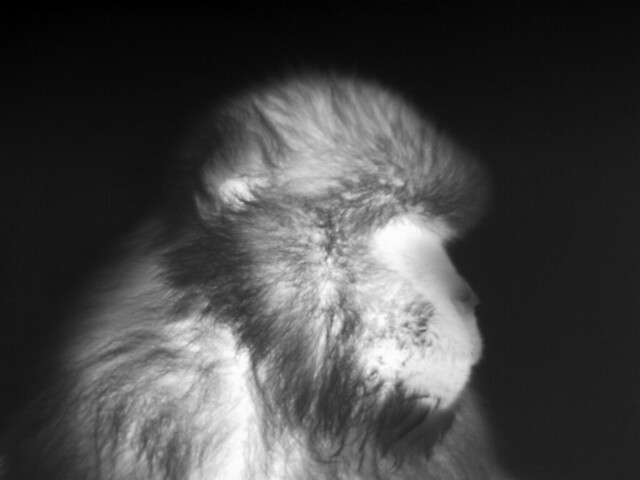 Barbary macaque thermal portrait, Gibraltar