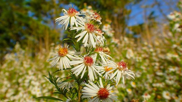Wild flowers - 3923