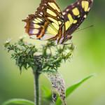 Malachite Butterfly (2).