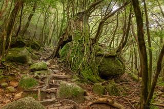 Yakushima Forest | by fbkphotography