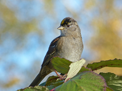 goldencrownedsparrow goldencrowned sparrow zonotrichiaatricapilla zonotrichia atricapilla