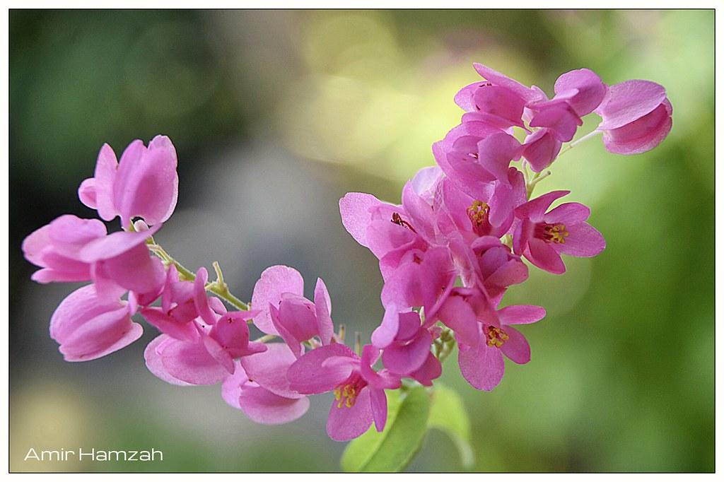 Bunga Air Mata Pengantin Amir Hamzah Flickr