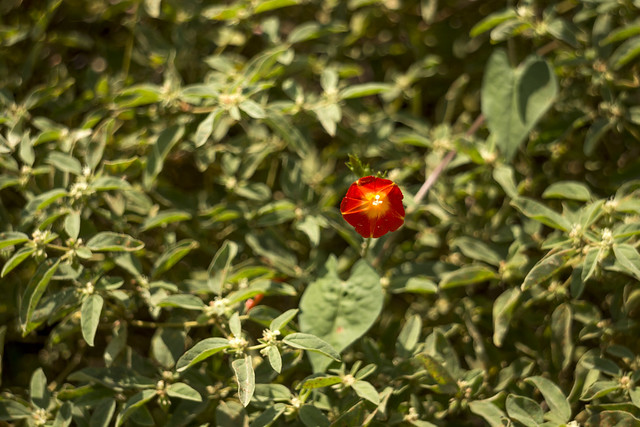 Ipomoea coccinea, Blount County, Tennessee