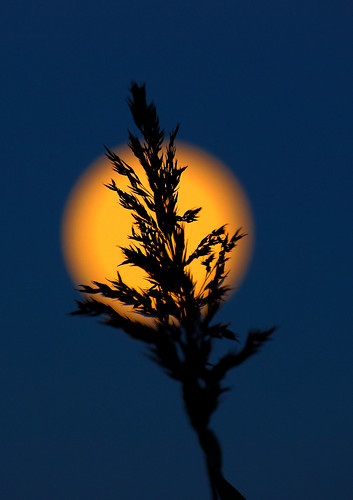 harvestmoon reed silhouette sky moon light bluehour depthoffield blur farings naturereserve bartonuponhumber eos1dxmk2 sp70200mmf28 canon tamron oct2017