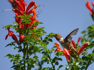 Allen's hummingbird at cape honeysuckle | by Mike's Birds