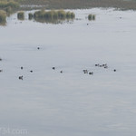 Waterfowl in Christian Pond (Mostly American Coots)