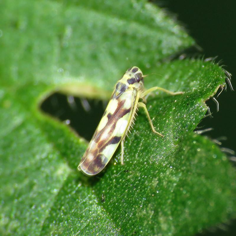 Eupteryx aurata
