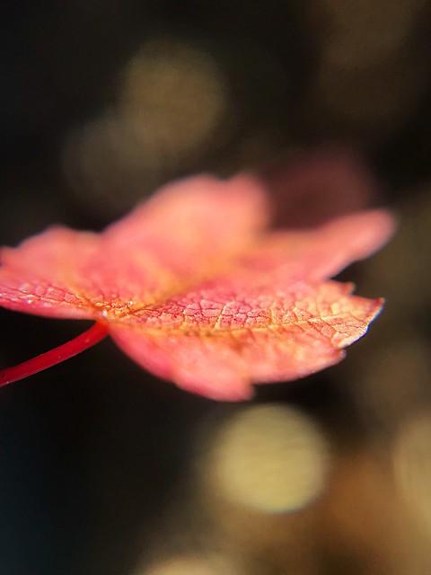 NH Autumn Leaf